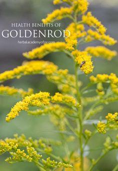 Health Benefits of Goldenrod - Herbal Academy of New England blog