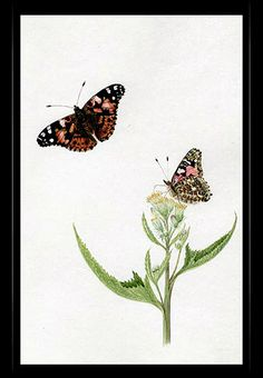 """Painted Lady Butterfly"" {Vanessa cardui}  by Katherine Plymley."