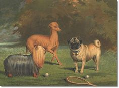 Yorkshire Terrier, Italian Greyhound & Pug from 1881 Cassell's The Book of the Dog