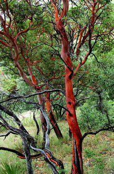Google Image Result for http://castanes.com/wp-content/uploads/2009/06/madrone_tree606.jpg