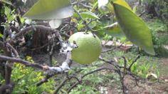 Limón Posada