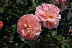 Apricot Drift Rose (Rosa 'Meimirrote') at Minor's Garden Center