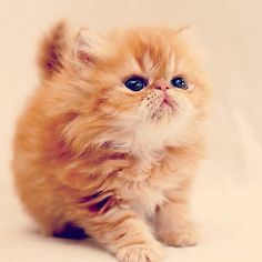 Red Persian Kitten. Reminds me of Quiche, or what she would have looked like as a kitten. #PersianCat