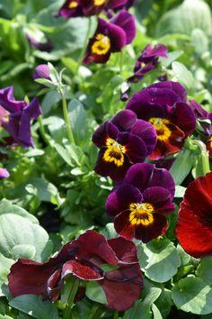 Spring Plants, Facebook Sign Up, Pansies, Planting Flowers, Violets