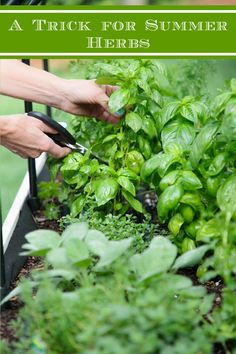 This simple little trick will save you lots of steps and make it super easy to always have fresh summer herbs at your fingertips all season long! #freshherbs #herbgarden #kitchentips Cooking With Fresh Herbs, When To Plant Vegetables, Grilled Fruit, Herb Recipes, Beautiful Flowers Garden, Container Gardening, Herb Gardening, Succulents Garden, Summer Recipes
