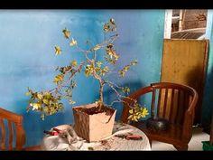 semi cascade bahan bonsai anggur brazil   bonsai   bahan bonsai   盆栽   ブ...