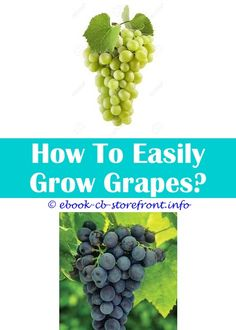 Zone 7 to 10 3 Cuttings Champagne Grape Seedless Grape Vine Cuttings