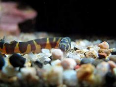 The Mossy Forest  05 - Kuhli Loach Feasting