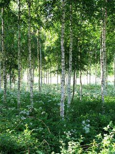 The picture of my precious Finland, fresh and green, wild beauty | Birch Woods in Finland