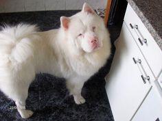 Chow Chow albino - So cute