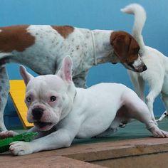 #pawsandpaws #petbrasil #daycare #crechecanina #clãbartolomeu #dog #frenchie #deafdog #doglover #dogmodel #lacyandpaws #thefrenchiepost #theworldofbullies #frenchbulldog #frenchiebrasil #bomdia #bulldog #bulldogfrances #bulldogbrasil #dogsofinstagram by ramon_frenchie