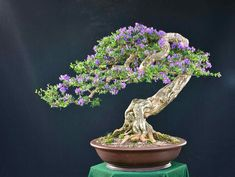 Bougainvillea Bonsai, Flowering Bonsai Tree, Bonsai Ficus, Bonsai Tree Care, Succulent Bonsai, Bonsai Plants, Bonsai Garden, Bonsai Trees, Garden Trees
