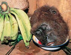 image_gorilla_bushmeat.jpg 461×358 pixels