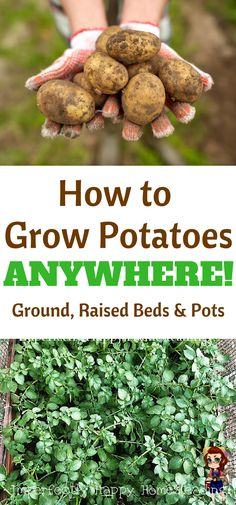 How to Grow Potatoes ANYWHERE! All the info you need to grow potatoes in the ground, in raised bed or in pots and containers.