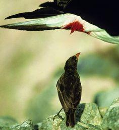 O pássaro vampiro que aterroriza Galápagos