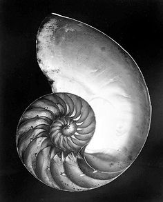 """Shell"" by Edward Weston, 1927 La base mathématique de toute vie"
