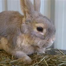 Caramel is a rather beautiful bunny looking for a new home. Caramel is a little timid at first but is happy to be handled or groomed. She is looking for a neutered male rabbit to keep her company once she has been spayed.