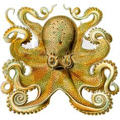 Vintage Giant Octopus Drawing
