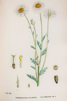 Corn Camomile. John Sowerby Antique Botanical Print, 1869 Hand Coloured Engraving