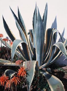 A blooming agave plant - photo by Louis MacLean Agaves, Sempervivum, Decoration Plante, Agave Plant, Plants Are Friends, Cactus Y Suculentas, Cacti And Succulents, Succulents Tumblr, Trees To Plant