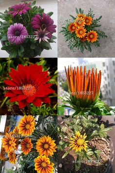 [Visit to Buy] Hot Selling Rare 20 Kinds Medal Daisy Species Chrysanthemum Potted Flowers Seeds Gazania Sunflower Africa 100PCS #Advertisement