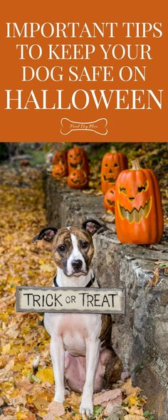 Tips To Keep Your Dog Safe This Halloween | Dog Care Tips | Dog Holiday Tips | Dog Safety Dog Health Tips, Dog Health Care, Halloween Trick Or Treat, Dog Halloween, Dog Safety, Safety Tips, Dog Care Tips, Dog Training Tips, Happy Dogs