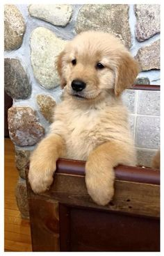 Golden Retriever #puppy