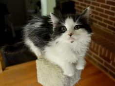 Isabella is an adoptable Domestic Short Hair Cat in Charlotte, NC. I'm an absolute sweetheart! I'm playful and love my kitten friends but also reallyenjoy attention and affection. Ilove being held a...