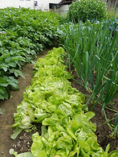 Intercropping, or interplanting, is a valuable tool. What is interplanting? Interplanting flowers and vegetables is an oldfashioned method finding new interest with modern gardeners. Learn more here.