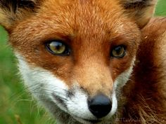 Vulpes vulpes by TheWolfWithinMe on deviantART