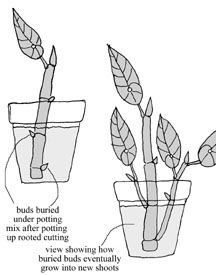 Begonia Propagation - Any stem cutting  that has at least one good bud in the lowest node will be a good cutting; A tip cutting should also have at least a couple leaves; You can also make a regular stem cutting from parts of a stem that don't have the tip, but they need to have at least 2 nodes with buds; Cut half an inch below the lowest node; When transplanting, you'll need to bury the lowest node; Use sterilized razor blade to obtain the cutting.
