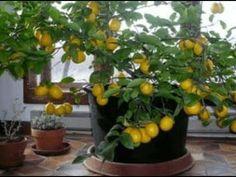 4 Adımda Evde limon ağacı nasıl yetiştirilir? - YouTube