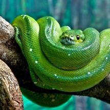 Green Tree Python --- 'Aro'. Bawahahahaha.