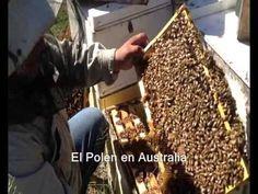 ENGLISH, below; FRANÇAIS + bas... Una versión apta para móbiles. Las abejas meliponias, también llamadas criollas o sin aguijón, habitan en Chiapas desde tie...