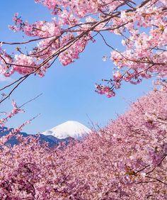 A pequena cidade é famosa por suas 8 mil cerejeiras que florescem cedo todos os anos, deixando a paisagem exuberante e recebendo milhões de visitantes em fevereiro