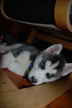 baby husky i want i want i want!