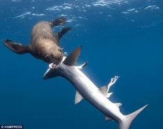 """It may be that there are not many photos of this happening, but that doesn't mean blue sharks cannot be part of a seal's normal diet. Cape fur seal can weigh up to 700 pounds. It's a question of size. If you are smaller than me, I will eat you."""