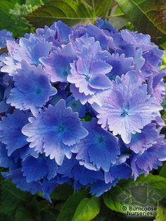 Buy Hydrangea 'Benelux' plants by mail order from Burncoose Nurseries