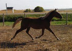 2017 Morgan Filly  CFR Diamond Saracena  www.coyoteflatranch.com Saskatchewan Canada, Morgan Horse, All About Horses, Dressage, Ranch, Flat, Diamond, Animals, Guest Ranch
