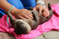 Otter gets a luxurious belly rub - July 15, 2013