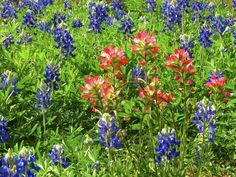 First Lady Johnson was a fierce conservationist who loved wildflowers and spent much of her life working to preserve wild spaces. Remember her and take in all the beauty one heart can handle in one fell swoop at the Wildflower Center named in her honor. The Austin, Austin Tx, Indian Paintbrush, Texas Bluebonnets, Beauty First, Lone Star State, Central Texas, Travel Planner, Trip Planner