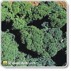 Kale on Pinterest | Kale Chips, Kale Salads and Kale Pesto Companion Planting Kale