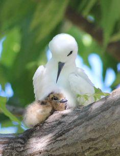 VULNERABLE: The Fairy Tern is Vulnerable, except for in New Zealand where it is Critically Endangered. Sml
