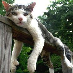 ヘミングウェイ博物館の猫