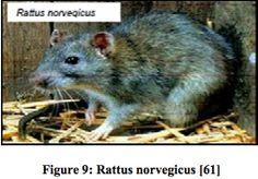 La leptospirose, une zoonose transmissible du rat à l'homme - les RESERVOIRS de la maladie - Juif Marylène - 2011.