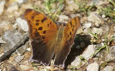 photo by Henry McLin: Question Mark Butterfly