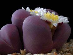 Lithops Optica Rubra rare succulent cactus seeds~ red Living stones | eBay