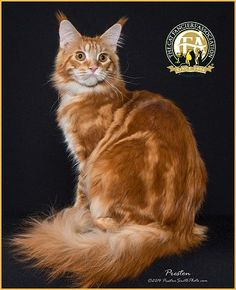 Photos of Grand Champion and Grand Premier Maine Coon Cats for the show season Best Cat Breeds, Norwegian Forest Cat, Maine Coon Cats, Beautiful Cats, Cool Cats, Dog Cat, Kitty, Street, Pets