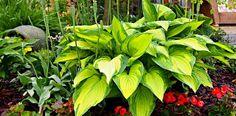 Funkia – zielone, liściaste cudo…