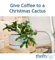 This is a guide about giving coffee to a Christmas cactus. Coffee is a trusted secret that many people use to keep their Christmas cactus healthy and blooming each year. Just make sure its plain black coffee.